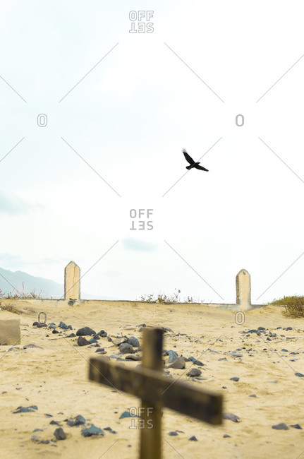 Raven flying in an old cemetery on a beach of Fuerteventura, Canary Islands.