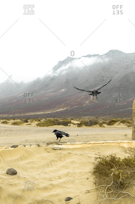 Couple of ravens in a desert landscape with mountains and clouds in the background.