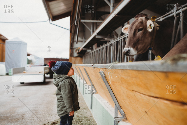 Young boy looking at cow eat in farm in winter