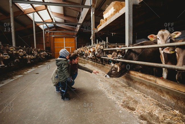 Mom and child reaching at a cow in a barn during winter