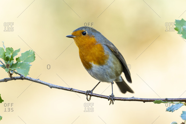 European robin (Erithacus rubecula) perched on a branch against an unfocused green background, Leon, Spain