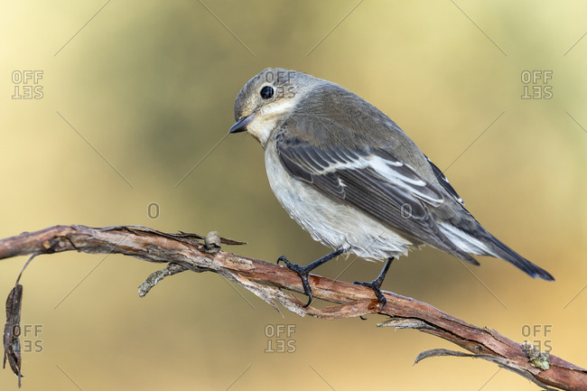 Pied flycatcher (Ficedula hypoleuca) perched on a branch against an unfocused green background, Leon, Spain