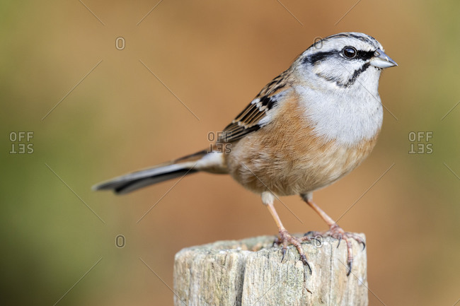 Rock bunting, Emberiza cia, perched on a stake against an out of focus ocher background. Spain