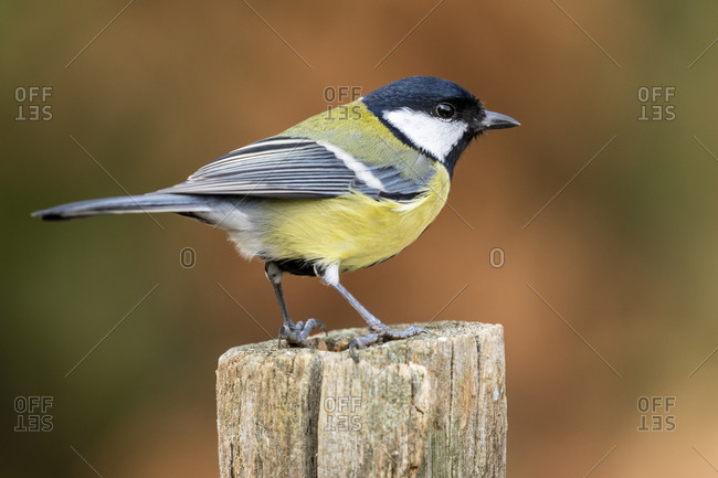 Great tit, (Parus major), perched on a stake against an unfocused ocher background. Spain