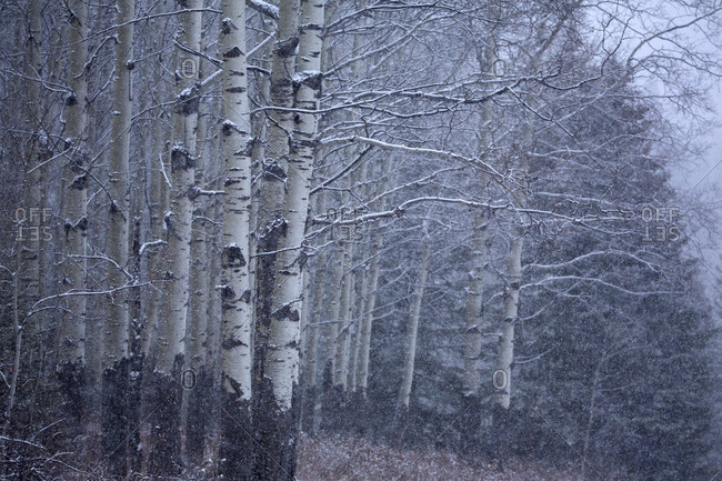 Silver birch with light snow in Banff National Park, Alberta, Canada