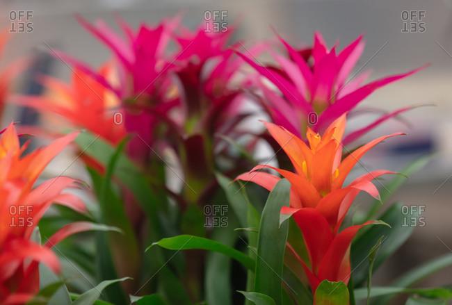 Closeup view on guzmania flower