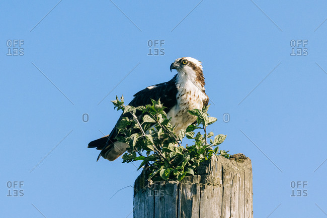 Osprey perched on a wooden post with plants growing out of it in front of blue sky, Everett, Washington