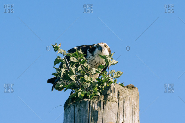 An angry Osprey perched on a wooden post with plants growing out of it in front of blue sky, Everett, Washington