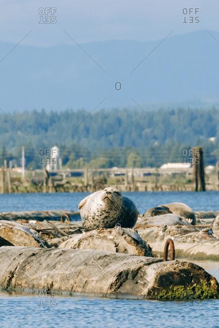 A harbor seal relaxing on Jetty Island, Everett, Washington