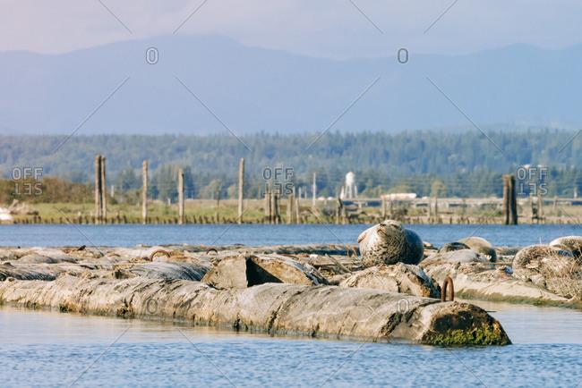 Common seals relaxing on Jetty Island, Everett, Washington