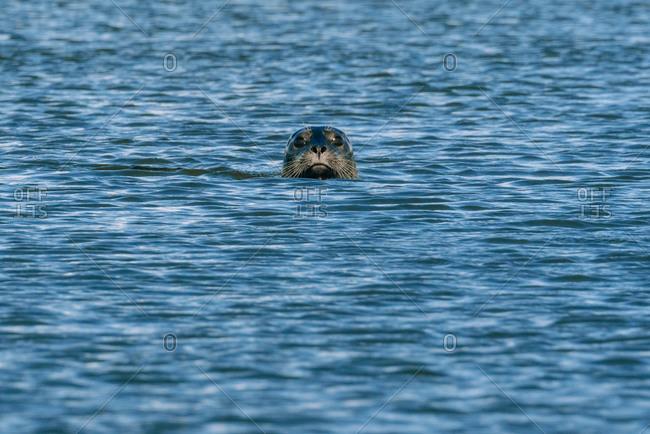 A harbor seal swimming in the water near Jetty Island, Everett, Washington