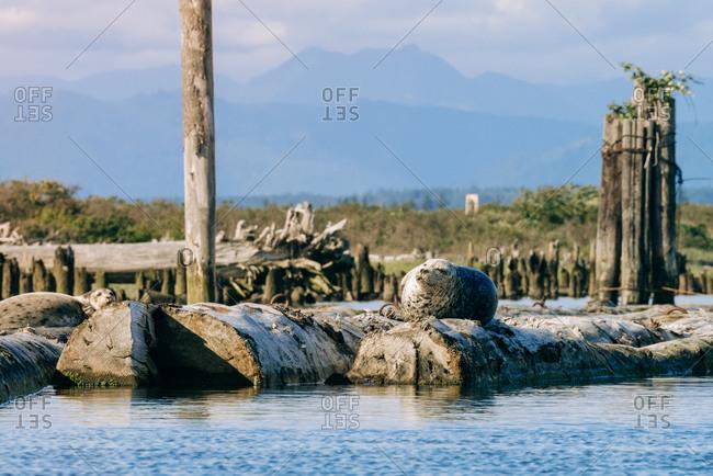 Harbor seals relaxing on Jetty Island, Everett, Washington