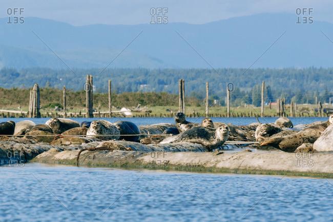 Large group of harbor seals relaxing on Jetty Island, Everett, Washington