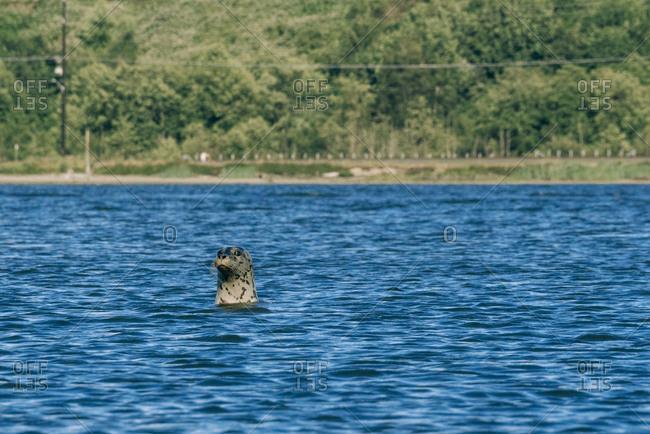 A common seal poking head above water while swimming near Jetty Island, Everett, Washington