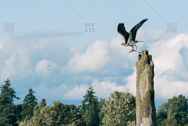 Osprey taking flight from a wooden post in front of a cloudy blue sky, Everett, Washington