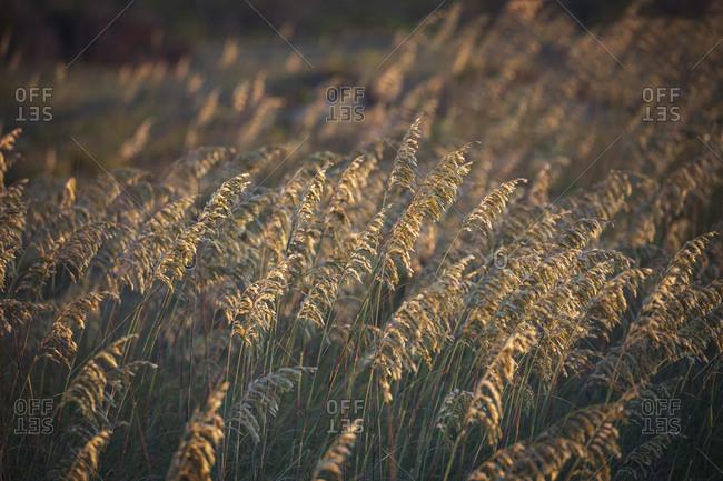 Field of golden oats and sunset near Davis, North Carolina