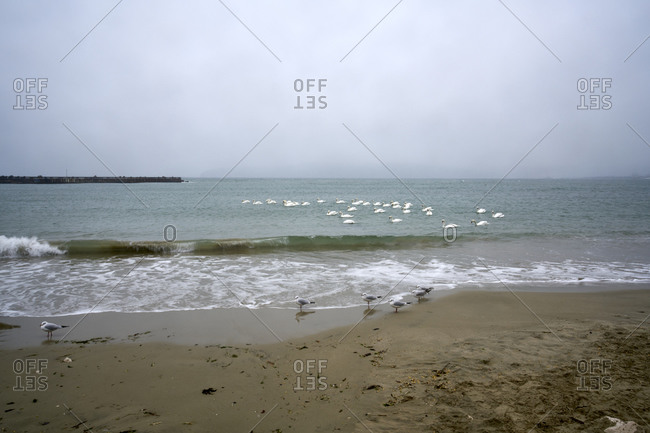 Seagulls and swans on a winter beach in bad weather in Varna, Bulgaria