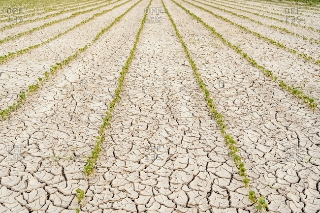 Rows of green seedlings growing in dried cracked waterless soil in agricultural field during drought