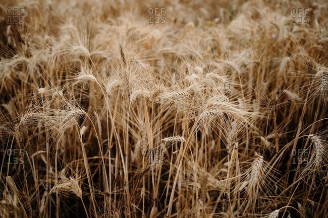 Dry wheat spikes growing in agricultural field during drought caused by global warming