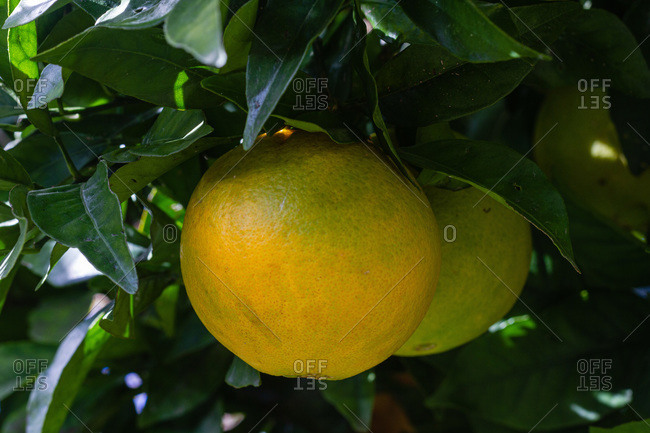 Fresh oranges growing on citrus tree in lush garden in countryside at daytime