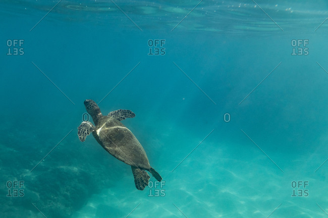 A sea turtle floats to the surf in the teal waters of oahu, hawaii