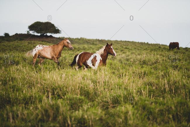 Two horses run through grassy field