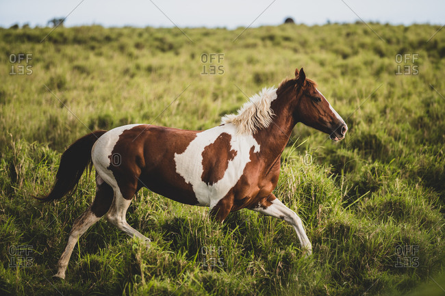 Brown and white spotted horse running through green grassy field