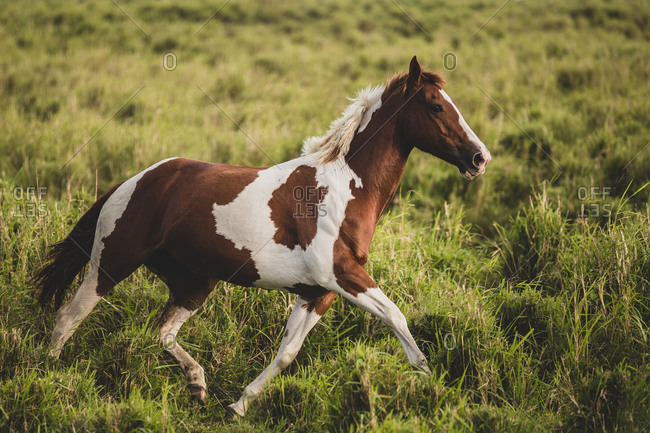Spotted horse trotting through tall, green, grassy field
