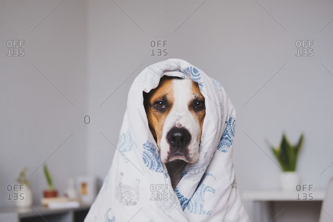 Dog in bedroom wrapped in the throw blanket. cute staffordshire