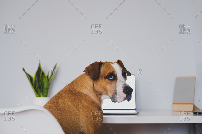 Dog sits in front of the laptop at home desk. working from home,