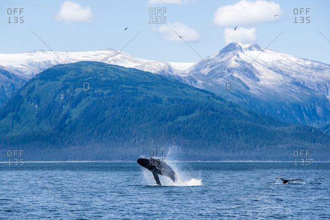 A humpback whale breaches in alaska with snowy peaks behind