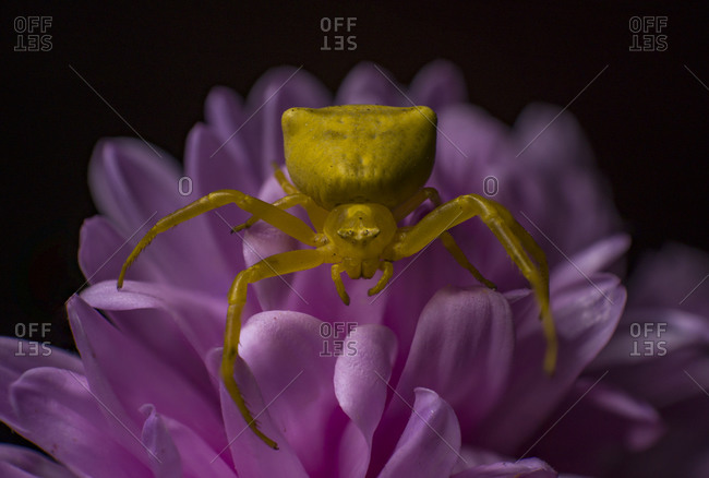 Aster, spider, crab, daisy, macro, photography, yellow, pink, flower,