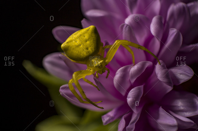 A yellow crab spider blend into a colorful purple daisy flower aster
