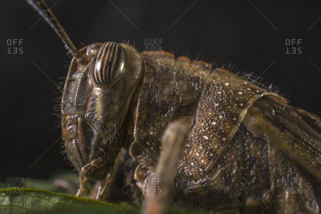 Extreme macro, egyptian locust grasshopper on a leaf, pest