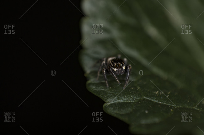 Extreme macro jumping spider slow motion looking for a prey on leaf