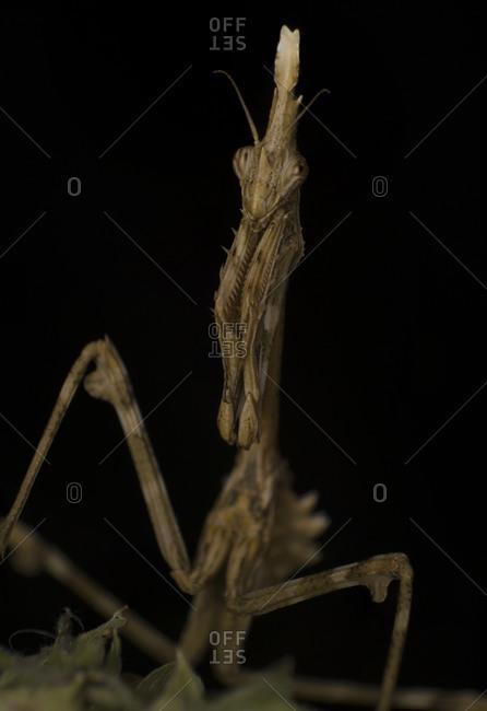 Macro  photography, mantis mimicry on vegetation wait for a prey
