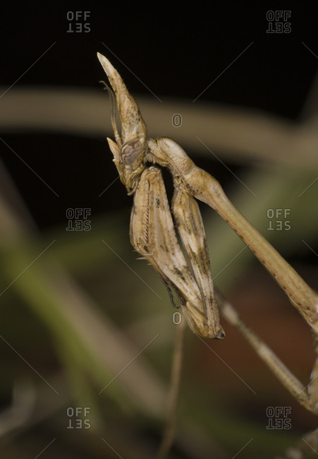 Empusa conehead praying mantis use mimicry to hide within vegetation
