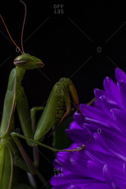 Alien looking green praying mantis on a purple daisy flower