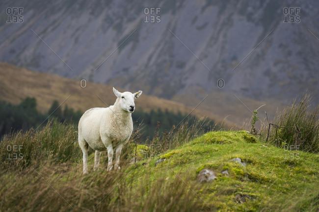 Sheep by plants on field, isle of skye, scotland, uk