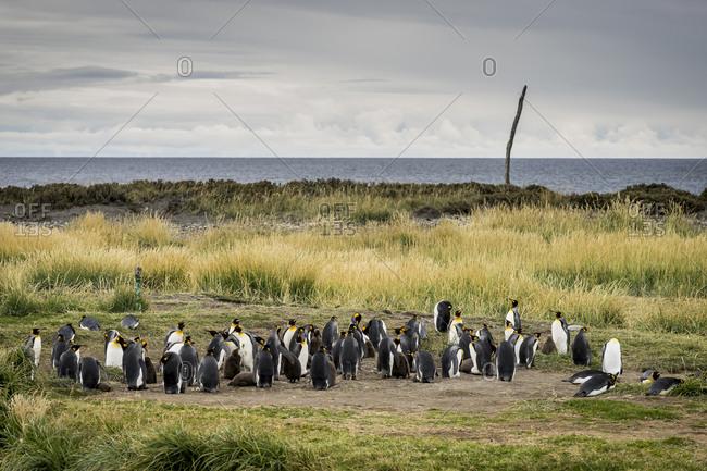 Colony of king penguins in reserva natural pinguino rey, inutil bay, porvenir, tierra del fuego, patagonia, chile