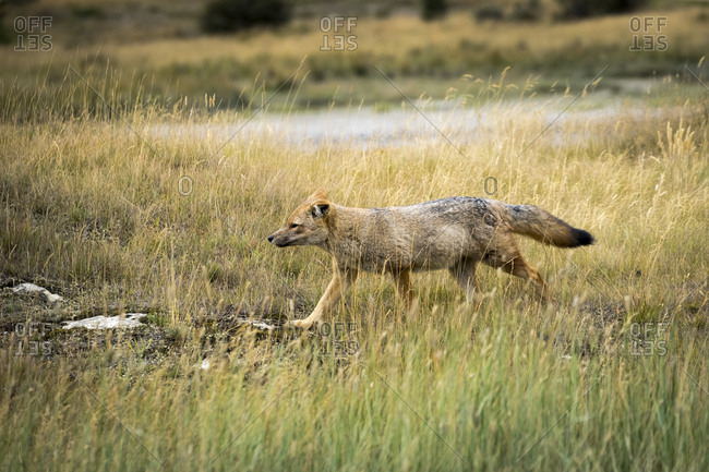 Andean fox on grassy field at tierra del fuego national park, ushuaia, patagonia, argentina