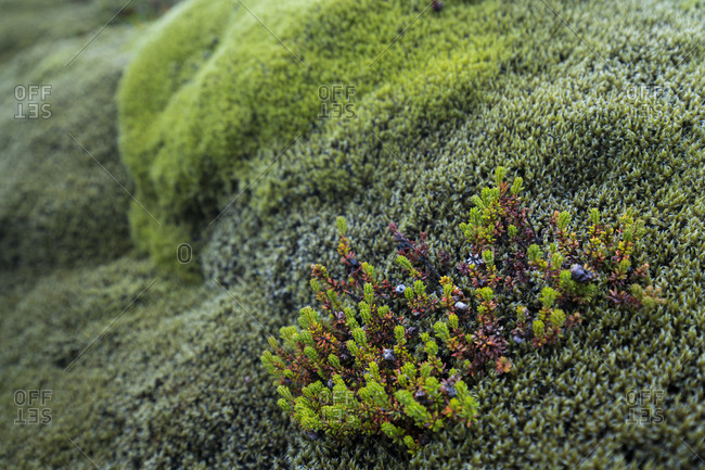 Detail shot of plants growing on moss covered lava field, south iceland, iceland