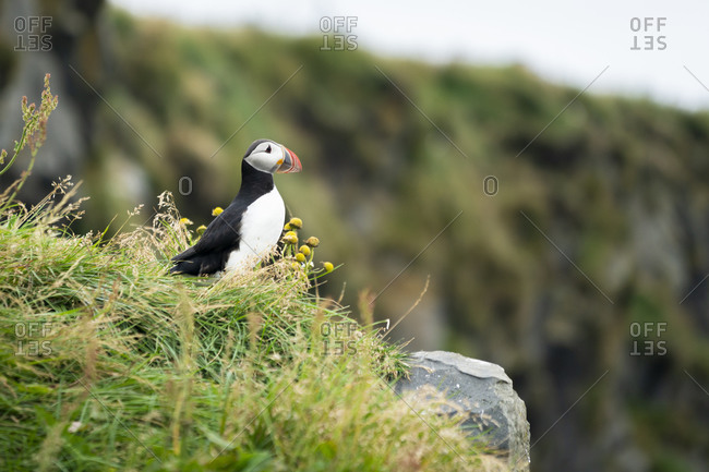 Atlantic puffin perching on grass at mountain, south iceland