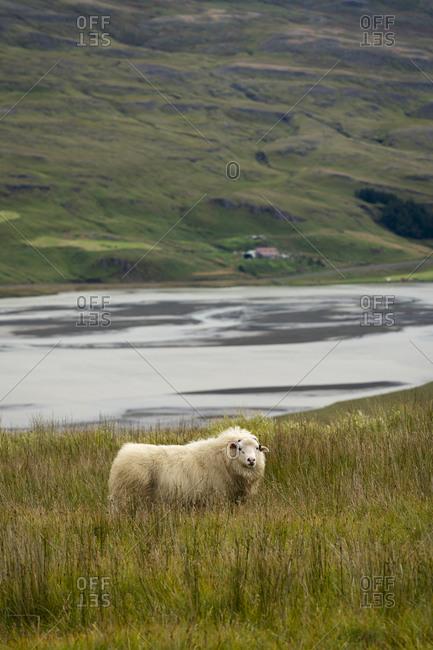 Sheep on grassy field, eastern region, iceland