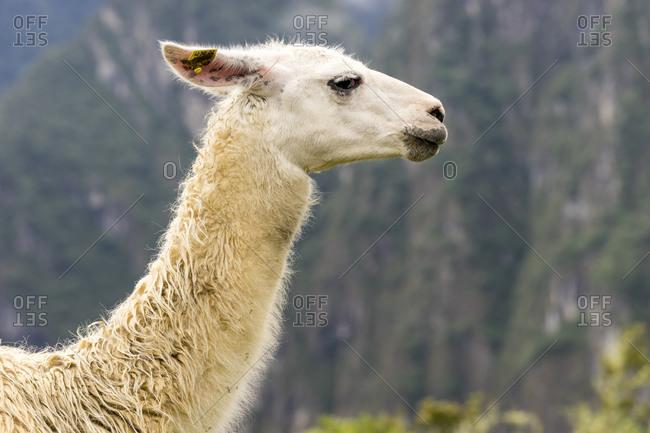 Side view of llama at machu picchu, peru