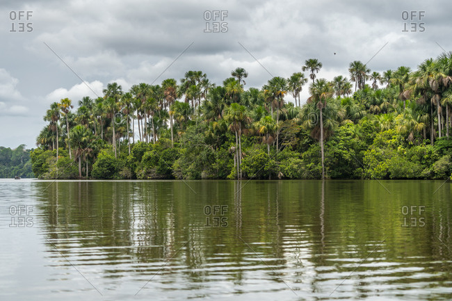 Aguaje palm trees by lake sandoval, tambopata nature reserve, puerto maldonado, madre de dios, peru