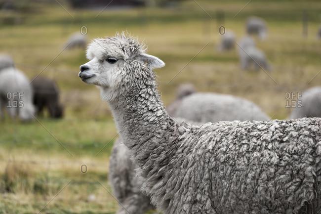 Side view of llama at pitumarca, peru