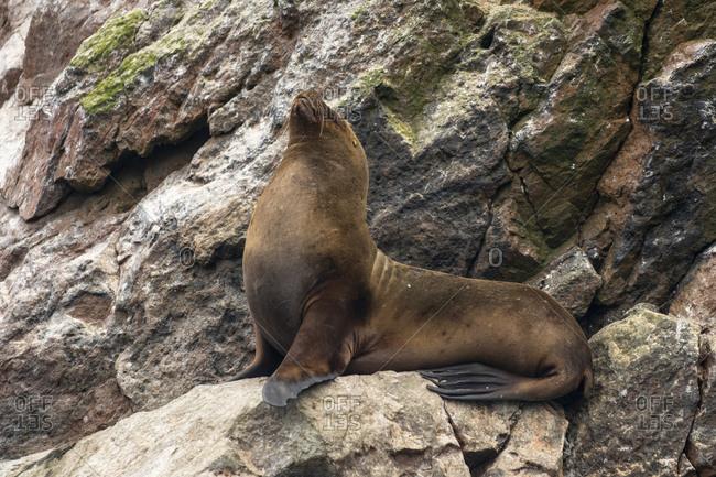 South american sea lion on rock at ballestas islands, paracas, peru
