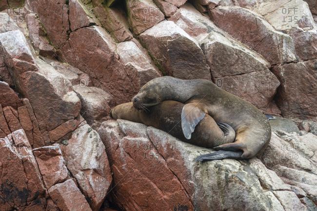 South american sea lions sleeping on rock at ballestas islands, paracas, peru