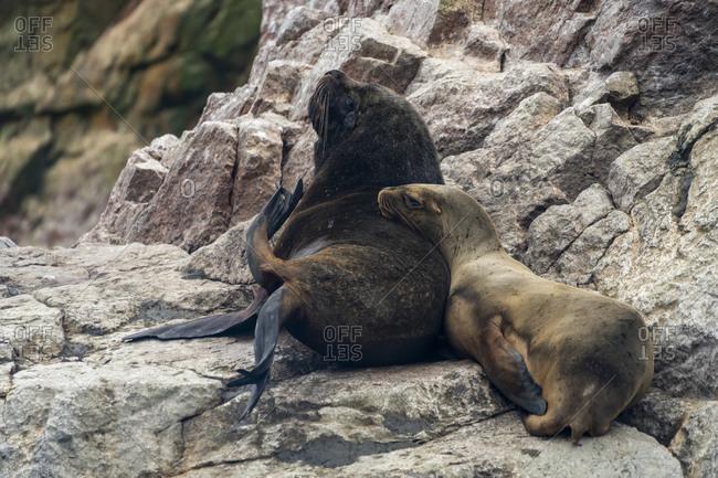 South american sea lions on rock at ballestas islands, paracas, peru